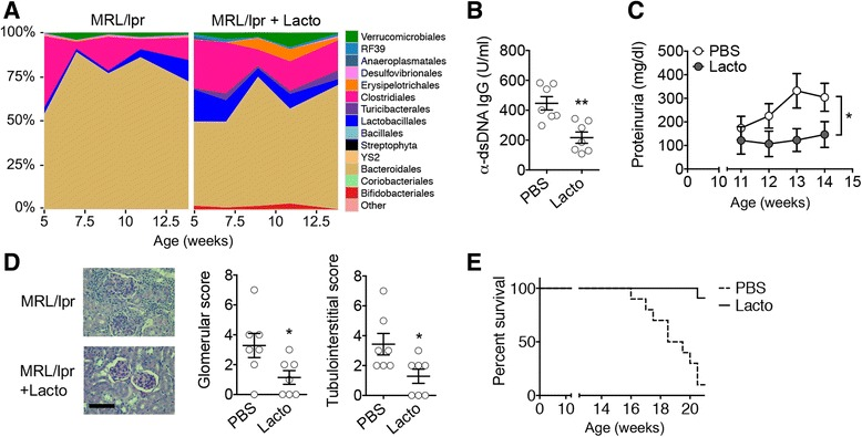 Lactobacillus spp. protect female lpr mice from LN. a Time-dependent changes of fecal microbiota upon PBS or Lactobacillus ( Lacto ) treatment ( n = 4 mice per group). b Level of anti-dsDNA IgG in the blood of 10-week-old mice ( n = 7 mice per group; ** P