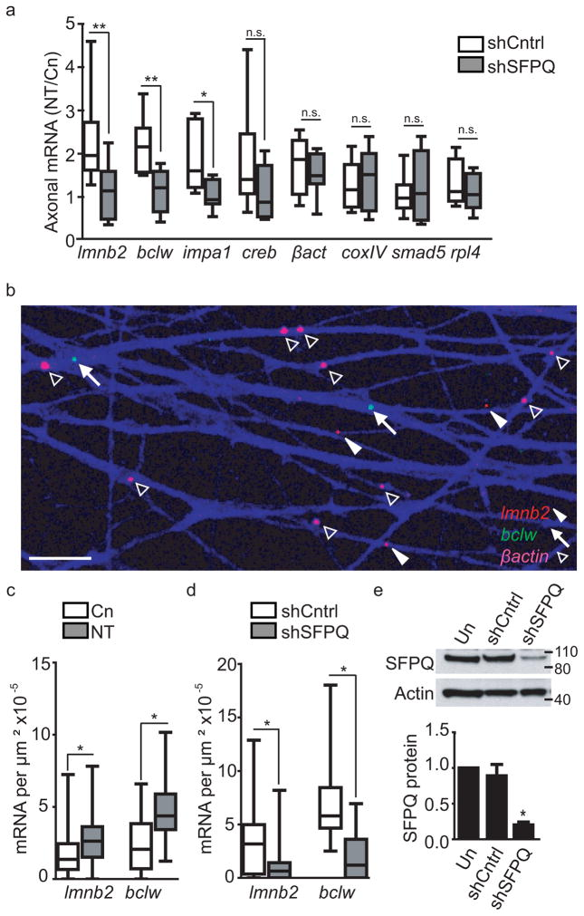 SFPQ regulates localization of axonal mRNAs ( a ) qRT-PCR analysis of mRNA levels of distal axons from sensory neurons grown in compartmented cultures expressing SFPQ shRNA following 2h neurotrophin stimulation of distal axons (DA). Data shows mean ± SEM, n = 8 experiments from cultures grown from 8 pregnant rats; ** P