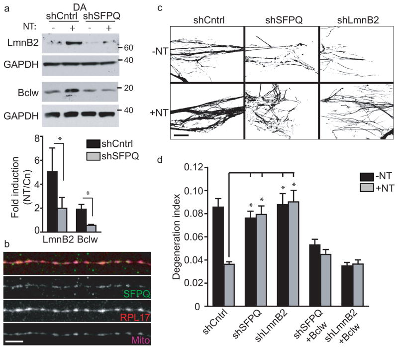 SFPQ regulates functionally related genes to promote axonal viability ( a ) Western blot of protein from distal axon (DA) lysate from sensory neurons grown in compartmented cultures expressing control or SFPQ shRNA following 8h neurotrophin stimulation of DA. Quantification of LaminB2 and Bclw protein levels normalized to GAPDH; data shows mean ± SEM, n = 3; * P ≤ 0.05 (Paired two-tailed t -test; P = 0.05, t (2) = 2.84 for LaminB2 and P = 0.04, t (2) =3.29 for Bclw). Full-length blots are presented in Supplementary Figure 7 . ( b ) Representative immunostaining of sensory neuron axons with SFPQ, RPL17 and mitotracker (n = 3 individual neuronal cultures). Scale bar, 10 μm. ( c ) Representative binarized Tuj1-labeled axons in compartmented cultures expressing control (n = 56 axon tracts), SFPQ (n = 24 axon tracts) or LaminB2 (n = 32 axon tracts) shRNA in the absence (-NT) or presence (+NT) of neurotrophins (NGF+BDNF) from 3 individual experiments. Scale bar, 40 μm. ( d ) Quantification of axon degeneration; data shows mean values ± SEM, n = 25 axon tracts for shSFPQ+Bclw and n = 16 axon tracts for shLmnB2+Bclw from 3 experiments; * P