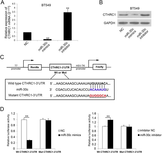 CTHRC1 is a direct target of miR-30c. a qRT-PCR analysis of CTHRC1 mRNA expression in indicated cells 24 h post-transfection. ** P