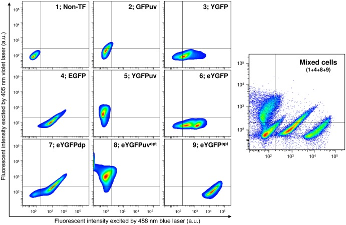 FACS analysis of HCT116 cells expressing YGFP derivatives or commercial GFP proteins. Transfectants (TF) were selected using 1 μg/ml puromycin for 10 days, and fluorescence-positive cells were sorted by FACSaria III, as described in Materials and Methods. eYGFP opt and eYGFPuv opt nucleotide sequences are available from the DDBJ/EMBL/GenBank nucleotide sequence databases with accession numbers LC217534 (eYGFP opt ) and LC217535 (eYGFPuv opt ), respectively. Data are representative of three independent experiments.