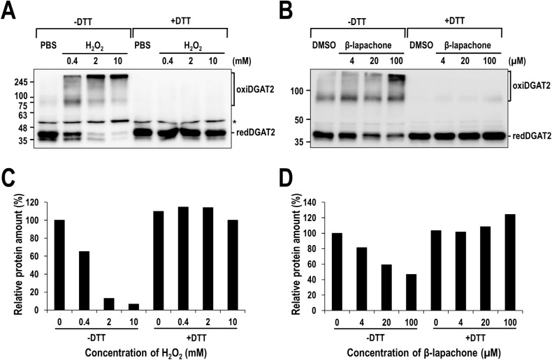 Multimeric complex of human DGAT2 formed by ROS-induced intermolecular disulfide crosslinking in vitro . Membrane extracts from human DGAT2-overexpressing Sf9 insect cells were treated with H 2 O 2 (A) or β-lapachone (B) in the presence or absence of 20 mM DTT and subjected to Western blot analysis using anti-DGAT2 antibody. The amount of monomeric human DGAT2 proteins presented as redDGAT2 in (A) and (B) was quantified and the amount of relative redDGAT2 protein was calculated by setting the values from samples treated with PBS (C) or DMSO (D) to 100%. Asterisk indicates a non-specific band.