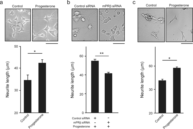 Effects of progesterone on neurite outgrowth via mPRβ in NGF-induced neuronal PC12 cells. ( a ) Effects of progesterone on neurite outgrowth. After 24 h in culture, PC12 cells were treated with NGF (50 ng/mL) or co-stimulated with NGF and progesterone (10 μM) for 3 days. (n = 3). Scale bar = 100 μm. ( b ) After being treated with Control siRNA or mPRβ siRNA, PC12 cells were cultured for 3 days in DMEM containing 1% FBS, NGF (50 ng/mL) and progesterone (10 μM) (n = 3). ( c ) Effects of progesterone on neurite outgrowth. After 24 h in culture, SH-SY5Y cells were treated with NGF (50 ng/mL) or co-stimulated with NGF and progesterone (10 μM) for 12 h. (n = 4–8). Scale bar = 100 μm. The graph reports the average length of neurites. Results are presented as means ± S.E.M. * p