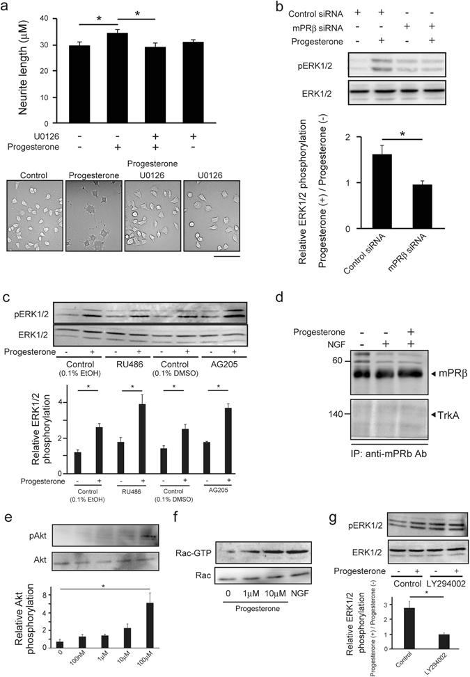 Inhibition of progesterone-mPRβ-MAPK signaling in PC12 cells suppresses neurite outgrowth. ( a ) Inhibitory effects of MEK inhibitor (U0126) on progesterone-induced neurite outgrowth in NGF-induced neuronal PC12 cells. After 24 h in culture, cells were further cultured in DMEM containing NGF (50 ng/mL), 1% FBS, with or without U0126 (10 μM) and progesterone (10 μM) for 3 days. Scale bar = 200 μm. (n = 3–5). Statistical analysis was performed by using one-way analysis of variance followed by Tukey-Kramer's post hoc test. ( b ) Inhibitory effects of mPRβ siRNA on the phosphorylation of ERK1/2 in NGF-induced neuronal PC12 cells. After being treated with Control siRNA or mPRβ siRNA, cells were cultured for 3 days in DMEM containing 1% FBS, NGF (50 ng/mL) and with or without progesterone (10 μM). ERK1/2 and phosphorylated ERK1/2 in cells were detected by western blotting with specific antibodies. (n = 3). Statistical analysis was performed by using Student's t-test. ( c ) Effects of progesterone (10 μM) on the phosphorylation of ERK1/2 in the presence or absence of RU486 (10 μM) and AG205 (10 μM) in PC12 cells. After 24 h in culture, cells were cultured in DMEM containing NGF (50 ng/mL) and 1% FBS. Cells were further cultured for 3 h in serum-free DMEM. After precultured with RU486 (10 μM) or AG205 (10 μM) for 30 min, cells were cultured in the presence or absence of progesterone (10 μM) for 10 min. (n = 5) Statistical analysis was performed by using one-way analysis of variance followed by Tukey-Kramer's post hoc test. ( d ) Cells were left untreated or treated for 5 min with the progesterone (10 μM) or NGF (100 ng/ml). Lysate proteins were immune-precipitated with anti-mPRβ antibodies. The anti-mPRβ antibodies was used to detect mPRβ and anti-TrkA antibodies was used to detect TrkA. ( e ) Effects of progesterone on Akt phosphorylation in PC12 cells. After 24 h of culture, NGF-induced neuronal PC12 cells were further cultured for 3 h in serum-free DMEM. The cells were c