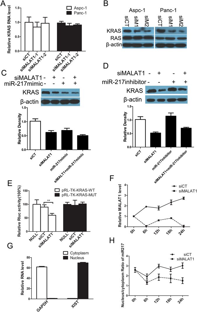 MALAT1 regulates KRAS expression in pancreatic cancer cells by interacting with miR-217. ( A ) KRAS mRNA expression after MALAT1 knockdown in pancreatic cancer cells. ( B ) KRAS and RAS protein expression after MALAT1 knockdown in pancreatic cancer cells. β-actin was used as a loading control. siCT: negative control siRNA, siM1: siMALAT1-1, siM2: siMALAT1-2. ( C ) KRAS protein expression in pancreatic cancer cells after the cells were transfected with negative-control siRNA (siCT) or siMALAT1 with or without an miR-217 mimic or miR-217 inhibitor ( D ). The full-length gels and blots for KRAS protein are included in Fig. S5 . ( E) Luciferase reporter gene expression after pRL-TK-KRAS-WT vectors or pRL-TK-KRAS-MUT vectors were transfected into pancreatic cancer cells along with either siMALAT1 or negative-control siRNA (siCT). ( F ) MALAT1 downregulation after pancreatic cancer cells were transfected with siRNAs. ( G ) XIST and GAPDH RNA levels in the nuclear and cytoplasmic fractions, as determined by qPCR. ( H ) miR-217 nucleus/cytoplasm ratios in pancreatic cancer cells after the cells were transfected with siCT or siMALAT1.