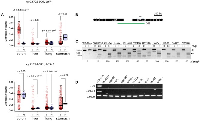 Validation of the LIFR promoter methylation for cancer specificity and its relationship with the expression of associated genes. (A) DNA methylation levels of target CpGs in public cancer methylome data (Infinium 450K BeadChip array) of four cancer types: colorectal ( n = 313 for cancer samples and n = 38 for normal samples), liver (377 and 50), lung (843 and 74), and stomach (395 and 2) cancers. Infinium CpG identification numbers (IDs) together with the associated gene names are shown; the Infinium IDs cg03723506 and cg11291081 indicate chr5:38557143 and chr3:37033894, respectively, in the Figure 3B . Statistical significance was calculated using Wilcoxon rank sum test. T: tumor samples, N: normal samples. (B) Schematic drawing of COBRA region at the LIFR promoter. Blue arrows, primers. CGI, CpG island (green line). (C) COBRA analysis. Genomic DNA was extracted from each colon cancer cell lines along with a normal control colon cell line (CCD-18co) and subjected to COBRA using the Taq I enzyme to examine the methylation state at the LIFR gene promoter. Arrowhead and arrow indicate the positions of intact and Taq I-digested DNA fragments, respectively. The fraction (% meth) of methylated DNA was measured by band intensity analysis and noted under each cell line. (D) RT-PCR. The same cancer cell lines used in COBRA (C) were subjected to RT-PCR to measure the transcript levels of the LIFR and LIFR-AS genes.