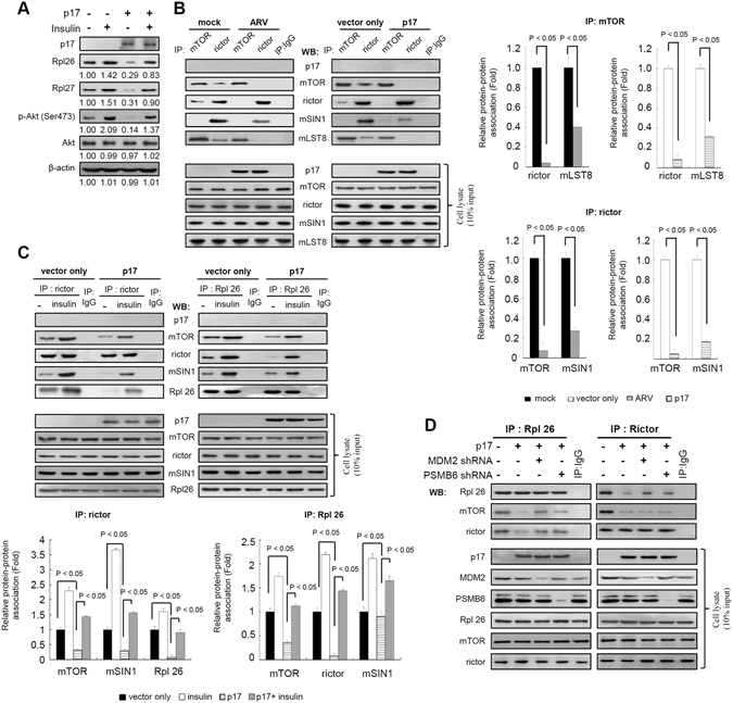 p17 deregulates mTORC2 assembly. ( A ) To study the effect of insulin on ribosomal proteins and Akt phosphorylation at S473, cells were pretreated with insulin (0.2 μm) for 1 hour, followed by transfection with pcDNA3.1-Flag-p17 for 24 hours at 37 °C. Whole cell lysates were harvested for Western blot assays with the indicated antibodies. The protein levels were normalized to those for β-actin.The activation and inactivation folds indicated below each lane were normalized against values for the mock control. those at mock. The levels of indicated proteins in the mock control were considered 1-fold. ( B ) Upper panel: in co-immunoprecipitation experiments, the binding of rictor, mSN1, and MlST8 to mTOR was examined in ARV-infected or p17-transfected Vero cells. Cells were mock-infected or infected with ARV at an MOI of 10 and transfected with either pcDNA3.1-Flag-p17 or pcDNA3.1-Flag (vector only) plasmid for 24 hours. The immunoprecipitated proteins were separated by SDS-PAGE followed by Western blot analysis, and proteins were detected with the indicated antibodies. Lower panel: Data were obtained in three independent experiments, error bars indicate the means ± SD. ( C ) Upper panel: for analysis of the effect of insulin on mTORC2, cells were treated with insulin (0.2 uM) for 1 hour, followed by transfection of cells with either pcDNA3.1-Flag-p17 or pcDNA3.1-Flag plasmid for 24 hours at 37 °C. The interaction of mTOR and rictor with Rpl7 and Rpl26 was examined by co-immunoprecipitation experiments described in panel A. Lower panel: Data shown represent the mean ± SD calculated from three independent experiments. ( D ) To study whether MDM2 and PSMB6 affect the association of mTORC2 and ribosomal proteins, depletion of MDM2 and PSMB6 with shRNAs was performed. The uncropped blots with molecular weights are shown in Figs S6 and S7 .