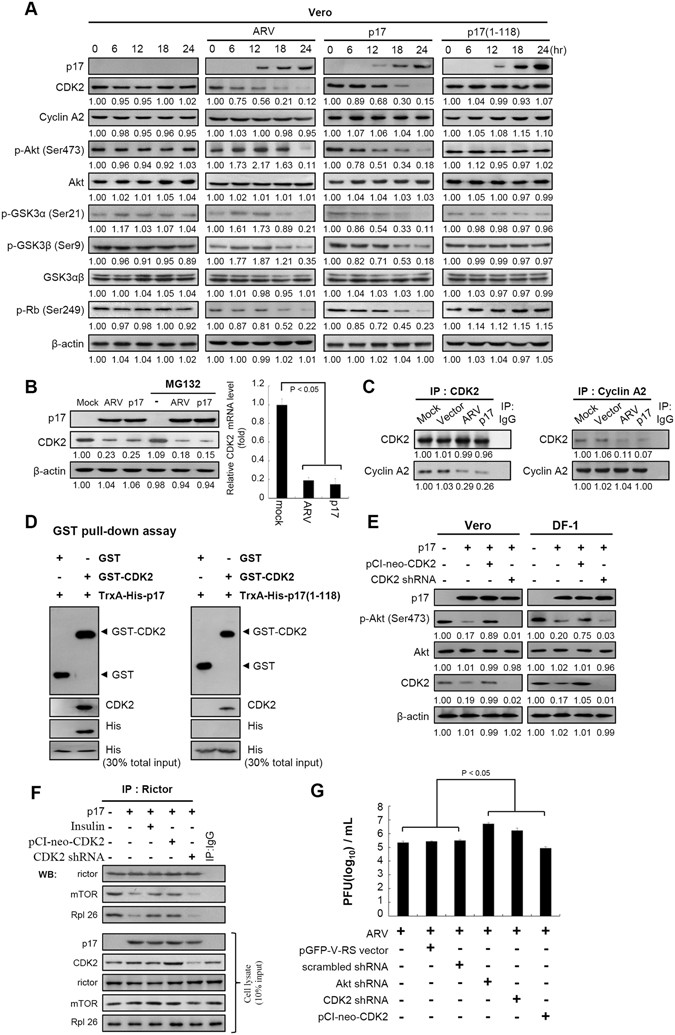 p17 interferes with the formation of the CDK2/cyclin A2 complex, which impedes Akt phosphorylation. ( A ) Levels of CDK2, cyclin A2, p-Akt (S473), p-GSK3α (S21), p-GSK3β (S9), and p-Rb (S249) in ARV-infected and p17-transfected Vero cells were examined. Cells were collected at the indicated points, and whole cell lysates were harvested for Western blot assays. p17 (1–118)-transfected and mock-infected cells were used as negative controls. β-actin was included as a loading control. ( B ) The level of CDK2 was examined in Vero cells without treatment or pretreated with MG132 followed by mock infection, ARV infection, and p17 transfection, respectively. Levels of CDK 2 mRNA in ARV-infected and pcDNA3.1-flag-p17-transfected Vero cells were analyzed by semi-quantitative RT-PCR. Mock infection (cells alone) was used as a negative control. The graph represents the mean ± SD calculated from three independent experiments. ( C ) The amount of CDK2 and cyclin A2 association were examined in either ARV-infected or p17-transfected Vero cells. ( D ) An in vitro GST pull-down assay was carried out. Elution fractions were boiled and examined by Western blot analysis. 30% total input of TrxA-His-17 or TrxA-His-17(1–118) mutant represented the internal loading control. ( E ) To confirm whether CDK2 phosphorylates Akt, knockdown of CDK2 with an shRNA and overexpression of CDK2 in p17-transfected cells were carried out, followed by Western blot analysis with indicated antibodies. For negative controls, cells were transfected as indicated. ( F ) To test whether insulin and CDK2 overexpression counteract the inhibitory effect of p17 on mTORC2 complex association, Vero cells were pretreated with insulin (0.2 μm) or transfected with pCI-neo-CDK2 plasmid for 3 hours, respectively, followed by transfection with pcDNA3.1-Flag-p17 for 18 hours. Vero cells were collected and washed twice in phosphate-buffered saline (PBS) and scraped in 200 μl of CHAPS lysis buffer. ( G ) To determine the effec