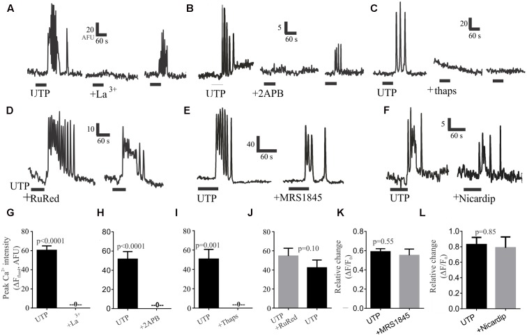 Post-receptor signaling pathways linked to UTP-Ca 2+ responses in BON cells. Representative Ca 2+ responses showing that (A) 100 μM La 3+ , (B) 10 μM 2APB or (C) 1 μM thapsigargin (thaps) can block UTP-induced Ca 2+ transients. In Contrast, (D) RuRed, (E) 20 μM MRS1845 or (F) 10 μM nicardipine are not effective in blocking UTP-induced Ca 2+ transients. After washing-out the drug (15 min) a partial recovery of the UTP-response was seen for La 3+ and 2APB but not for thapsigargin (thaps). (G–L) Pooled data for effects of each of the treatments illustrated in (A–F) indicating that La 3+ , 2APB or thaps can abolish Ca 2+ transients ( p