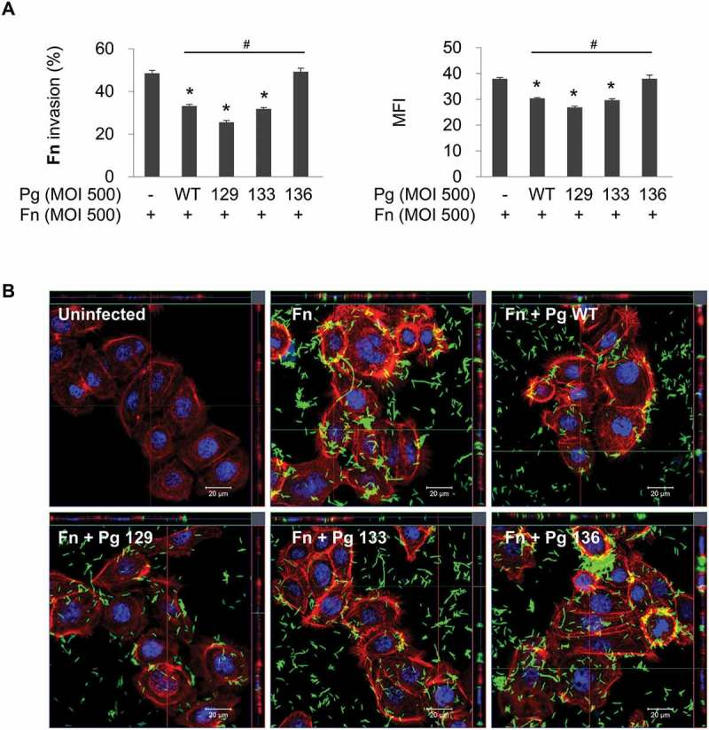 Gingipain deficiency reverses the suppression of F. nucleatum invasion by P. gingivalis . HOK-16B cells were infected with CFSE-labeled F. nucleatum and unlabeled wild-type P. gingivalis or gingipain mutants at a MOI of 500 for 4 h. (A) Cells were analyzed using flow cytometry after quenching the extracellular fluorescence from the bacteria attached to the cell surface with trypan blue. The percentage of cells containing F. nucleatum (left panel) and the MFI (right panel) are shown as the mean ± standard deviation. Representative data from three independent experiments are shown. (B) The cells were examined under a confocal laser scanning microscope after staining for F-actin (red) and nuclei (blue). CFSE-labeled F. nucleatum is displayed in green. Fn, F. nucleatum ; Pg, P. gingivalis ; WT, P. gingivalis ATCC 33277; 129, KDP129 ( kgp − ); 133, KDP133 ( rgpA − rgpB − ); 136, KDP136 ( kgp − rgpA − rgpB − ). * p