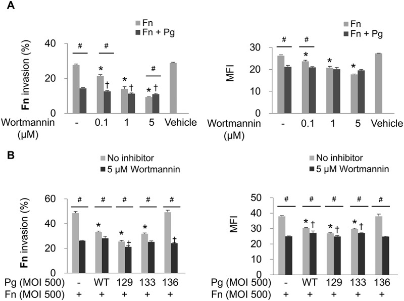Invasion of F. nucleatum is suppressed by PI3K inhibition. (A) HOK-16B cells were preincubated with wortmannin at the indicated concentration for 30 min and then infected with CFSE-labeled F. nucleatum and unlabeled wild-type P. gingivalis at a MOI of 500 for 4 h. The percentage of cells containing F. nucleatum (left panel) and the MFI (right panel) are shown as the mean ± standard deviation. * p
