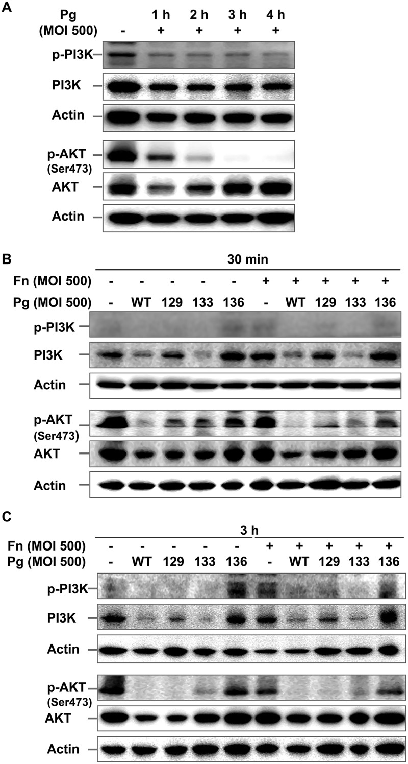 P . gingivalis inactivates the PI3K/AKT pathway in a gingipain-dependent manner. (A) HOK-16B cells were infected with wild-type P. gingivalis at a MOI of 500 for the indicated time. (B) and (C) HOK-16B cells were infected with wild-type P. gingivalis or gingipain mutants in the presence or absence of F. nucleatum at a MOI of 500 for 30 min (B) or 3 h (C). The levels of phosphorylated and total forms of PI3K and AKT were analyzed by immunoblot analysis. Fn, F. nucleatum ; Pg, P. gingivalis ; WT, P. gingivalis ATCC 33277; 129, KDP129 ( kgp − ); 133, KDP133 ( rgpA − rgpB − ); 136, KDP136 ( kgp − rgpA − rgpB − ).