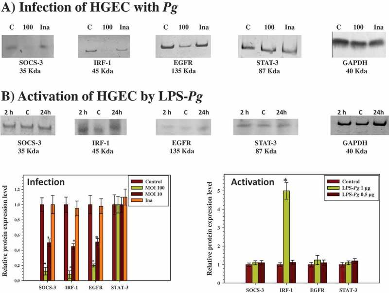 Modulation of the expression of SOCS-3, IRF-1, EGFR, and <t>STAT-3</t> proteins in HGEC infected with P. gingivalis and activated by LPS- Pg . (a) HGEC were infected for 2 h with P. gingivalis at a MOI of 100 and with heat-killed P. gingivalis (Ina). Uninfected cells served as control (C). (b) HGEC were activated 2 and 24 h by 1 µg/mL of purified LPS- Pg . Non-activated cells served as controls (C). In both experiments, cellular extracts were prepared and analyzed by immunoblotting with antibodies to SOCS-3, IRF-1, EGFR, and STAT-3. No detection was obtained using an antibody raised against <t>EGF</t> (not shown). An antibody to GAPDH was used as an internal control to verify equal loading of total proteins in all wells. Histograms indicated the relative protein expression level during infection and activation. Levels were determined by pixel intensity of a protein band normalized to the intensity of the internal control GAPDH within the same assay. Differences (*) between a given ratio and the one obtained with control cells were analyzed with Student's t -test ( p