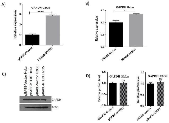 Validation of GAPDH in HeLa and U2OS cell lines. QRT-PCR was performed to check the hTERT induced upregulation of GAPDH in (A) U2OS and (B) HeLa cell lines. C) Represents results of Western blotting to check the up-regulation of GAPDH at protein level while (D) represents histograms of respective blots showing no prominent difference in expression of GAPDH at protein level.