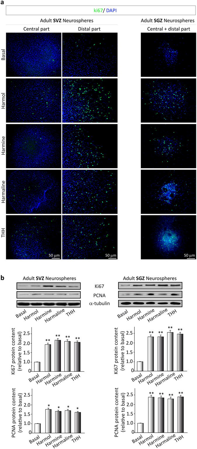 Effects of ayahuasca β-carboline alkaloids on adult neural stem cells proliferation. ( a ) Representative immunofluorescence images showing the expression of the cellular marker for proliferation ki67 (green) in neurospheres derived from the subventricular zone (SVZ) of the lateral ventricle and the subgranular zone (SGZ) of the hippocampus. SVZ-derived neurospheres are shown in two panels showing the central part of the sphere (left) and the distal migration site (right). Single images from SGZ-derived neurospheres show the whole neurosphere, including the central and distal areas. DAPI was used for nuclear staining. Scale bar = 50 μm. ( b ) Representative Western blots of ki67 and the proliferating cell nuclear antigen (PCNA) levels in neurospheres treated for 7 days with each of the four alkaloids tested (1 µM). Bar graphs show the results of the quantification analyses. Each bar indicates relative protein levels expressed as mean ± SD of the quantification of at least three independent experiments corresponding to four different cellular pools. The left side of the image shows results for the subventricular zone (SVZ) of the brain. The right side of the image shows results for he subgranular zone of the hippocampus (SGZ). *p ≤ 0.05; **p ≤ 0.01 indicate significant results in the post-hoc pair-wise comparisons (Bonferroni) versus non-treated (basal) cultures.