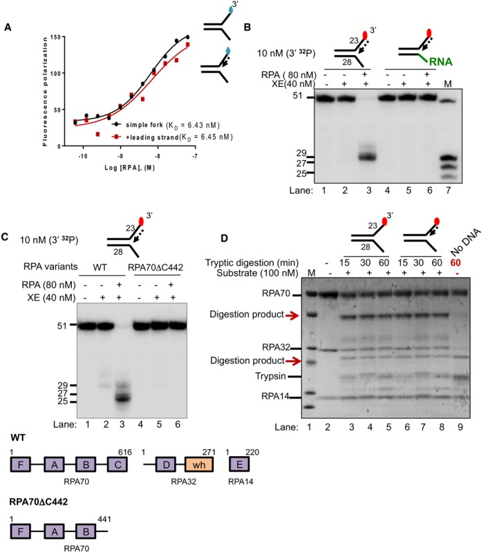 """RPA stimulates XPF ‐ ERCC 1 activity by binding to the 5′ arms of a DNA fork substrate Fluorescence anisotropy assay to determine the binding constants of RPA for either """"simple fork"""" or """"+leading‐strand"""" substrates. The blue diamonds denote the fluorophore‐labelled nucleotides. Nuclease activity of XE on """"+leading strand"""" or DNA:RNA hybrid (5′ ssRNA on the bottom strand) substrates in the presence or absence of 80 nM RPA. RPA cannot stimulate XE to overcome the inhibition of a model nascent leading strand when the 5′‐ssDNA overhang is replaced with 5′ ssRNA. Green line denotes RNA. (Top panel) Nuclease activity of XE on """"+leading‐strand"""" substrate in the presence or absence of either the WT RPA or the truncated RPA (RPA70C442). (Bottom panel) A schematic representation of the structural domains of WT RPA and RPA70C442. Purple boxes represent the DNA‐binding domains (DBD) designated as A–F. The orange box represents the winged helix domain. RPA70, RPA32 and RPA14 denote the three subunits of RPA. Limited proteolysis assay to determine structural changes in RPA in the presence or absence of the indicated substrates. 800 nM RPA was incubated with 100 nM unlabelled DNA substrates (simple fork; +leading strand; or no DNA) prior to digestion with 500 nM trypsin in a time course. Reaction samples were separated in Bis‐Tris SDS–PAGE (4–12%) and stained with InstantBlue. Red arrows indicated tryptic digestion pattern of RPA."""