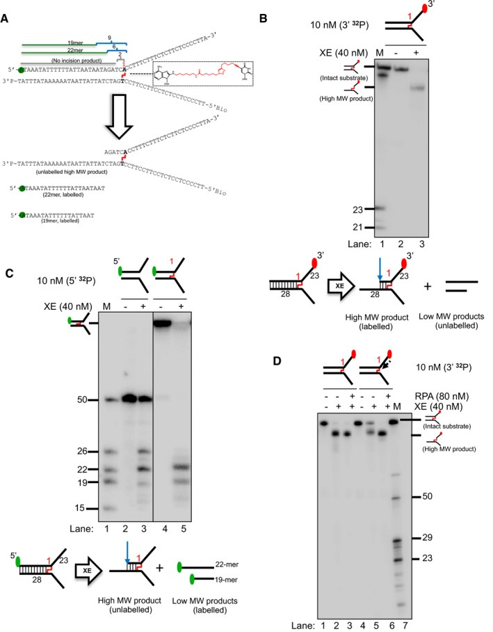 """A model nascent leading strand also inhibits XE activity on a fork structure containing a single triazole interstrand crosslink ( ICL ), but the presence of RPA overcomes this inhibition Sequence and schematic structure of a """"simple fork"""" containing a single triazole ICL at the fork junction and its predicted XE nuclease incision products when radiolabelled on the 5′‐end, based on the data obtained on non‐crosslinked fork structure in Figs 1 , 2 , 3 , 4 . Green circles denote 5′[ 32 P]‐radiolabelled nucleotides. (Top panel) Nuclease activity of XE on 3′[ 32 P]‐labelled crosslinked simple fork substrate. (Bottom panel) A schematic representation of the nuclease reaction and the incision products. (Top panel) Nuclease activity of XE on 5′[ 32 P]‐labelled model native (lanes 2 and 3) and crosslinked (lanes 4 and 5) DNA substrates. The XE incision closest to the fork junction (2 nt from the junction, 26‐mer product) is inhibited in the presence of a crosslink at the fork junction (lane 5). (Bottom panel) Schematic representation of the nuclease reaction and its incision products. Nuclease activity of XE on 3′[ 32 P]‐radiolabelled crosslinked substrate (simple fork; +leading strand) in the presence or absence of 80 nM RPA. XPF‐ERCC1 incisions reduced by a leading strand are overcome by the presence of RPA (compare lane 5 to lane 6)."""