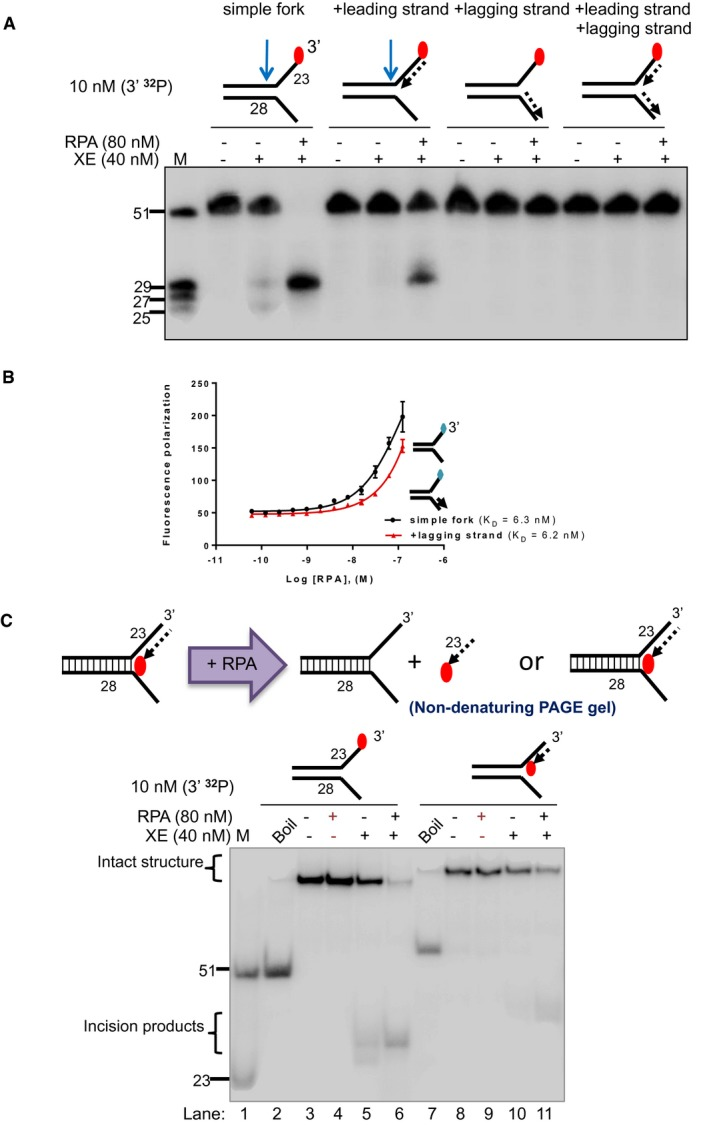 """RPA stimulation of XPF‐ERCC1 activity on """"+leading‐strand"""" structure is not attributed to the displacement of the model nascent leading strand or the unwinding of the fork substrates by RPA Nuclease activity of XE on the indicated fork substrates in the presence or absence of RPA. RPA specifically stimulates XE activity on a """"simple fork"""" and """"+leading‐strand"""" substrates. Fluorescence anisotropy assay to determine the binding constants of RPA for either """"simple fork"""" or """"+lagging‐strand"""" substrates. The blue diamonds denote the fluorophore‐labelled nucleotides. Error bars represent SD, n = 3. (Top panel) Outline of potential consequences of incubating """"+leading‐strand"""" substrate radiolabelled on the model nascent leading strand with RPA, and the potential products that might be revealed by analysis on a non‐denaturing PAGE gel. (Bottom panel) Nuclease activity performed as in panel a. Reaction products were separated on a 10% non‐denaturing PAGE gel. The DNA substrates remain intact in the RPA alone reactions (lanes 4 and 9), indicating that RPA does not displace the model nascent leading strand or unwind the fork substrates, at the concentrations employed. Source data are available online for this figure."""