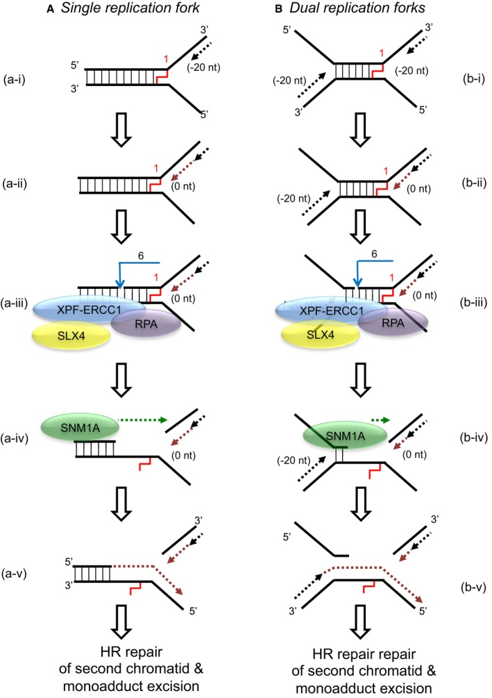 """Model for the collaborative activity of XPF ‐ ERCC 1, RPA and SNM 1A to unhook a crosslink When a single replication fork encounters an ICL, the nascent leading strand initially stalls 20–40 nt from the ICL (""""−20"""" position; step a‐i). It gradually progresses to 1 nt from the ICL (""""0"""" position; step a‐ii), and its arrival at the ICL triggers an XPF‐ERCC1‐RPA‐induced incision six nucleotides 5′ to the junction, in a duplex region (step a‐iii). SNM1A loads from these incisions and digests past the ICL, unhooking the ICL from the DNA duplex, leaving a residual single nucleotide moiety (step a‐iv), which has been demonstrated as the reaction product using mass spectrometry to characterise the reaction products of SNM1A activity in previous work (Wang et al , 2011 ). This enables translesion synthesis to occur and repair of the broken DNA strand via homologous recombination (step a‐v). In the event of dual replication fork convergence onto an ICL, both nascent leading strands initially stall ˜20–40 nt from the ICL (step b‐i). CMG complexes from both replication forks unload from both leading strands, as previously described (Long et al , 2014 ; Zhang et al , 2015 ) which enables one nascent leading strand to gradually progresses to 1 nt from the ICL (""""0"""" position; step b‐ii) as previously described (Raschle et al , 2008 ; Zhang et al , 2015 ). The structure that arises at this stage is inhibitory for XPF‐ERCC1. However, in the presence of RPA, XPF‐ERCC1 will be able to incise the structure (on the lagging‐strand template associated with the fork which has progressed to 0 nt) within the duplex region, 6 nt from the ICL (step b‐iv). This XPF‐ERCC1‐RPA‐induced incision enables SNM1A to load onto and digest past the ICL (step b‐v). The net result of XPF‐ERCC1‐RPA‐SNM1A is ICL unhooking, which enable the translesion (TLS) synthesis step, where the strand extended by the TLS polymerase is the nascent leading strand which remained arrested at ˜20–40 nt from the ICL on the second"""