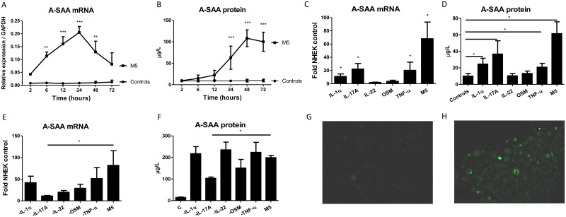 A-SAA production by NHEK stimulated with human IL-1α, IL-17A, IL-22, OSM, TNF-α, alone or in combination. (A) A-SAA mRNA expression and (B) protein secretion by NHEK stimulated with M5 were analyzed at different time-periods. (C) A-SAA mRNA expression and (D) protein secretion were determined 40 hours after <t>cytokine</t> activation. (E) A-SAA mRNA expression and (F) protein secretion by NHEK 40 hours after stimulation with four cytokines by sequentially subtracting either recombinant IL-1α, IL-17A, IL-22, OSM or TNF-α from M5. A-SAA mRNA and protein were quantified by RT-qPCR in NHEK and ELISA in supernatants, respectively. Data represent the mean ± SEM of three experiments with duplicates. Statistical comparisons were performed using 2way ANOVA test or t test (*p