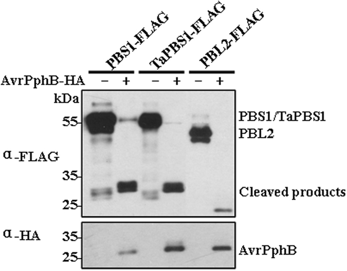 Cleavage of TaPBS1 by AvrPphB in Arabidopsis protoplasts. TaPBS1 could be cleaved by AvrPphB. FLAG-tagged PBS1, TaPBS1, or PBL2 was expressed together with AvrPphB-HA in Arabidopsis protoplasts. Protein cleavage was detected by Western blot analysis with an anti-FLAG antibody. AvrPphB-HA was detected by Western blot analysis with an anti-HA antibody.