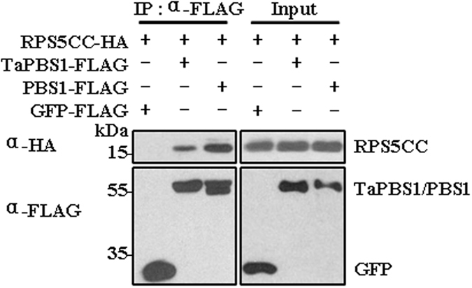 TaPBS1 associates with the CC domain of RPS5. TaPBS1/PBS1-FLAG and RPS5-CC-HA were co-expressed in Arabidopsis protoplasts, and TaPBS1/PBS1 was precipitated with an anti-FLAG antibody. The associated proteins were analyzed by Western blotting with an anti-HA antibody. GFP-FLAG was used as a negative control.
