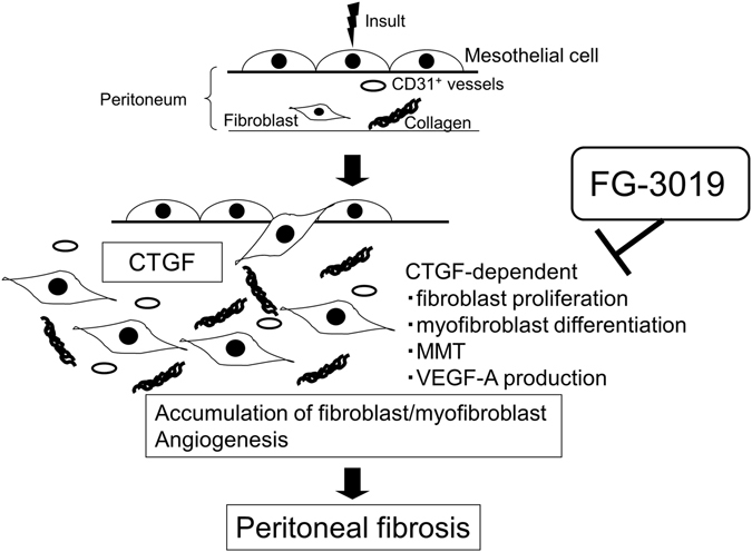 Proposed schema for the development of peritoneal fibrosis regulated by CTGF. CTGF contributes to multiple processes fundamentally involved in the pathogenesis of peritoneal fibrosis, including the induction of fibroblast proliferation, myofibroblast differentiation, MMT and VEGF-A production, in an autocrine and/or paracrine manner. Targeting CTGF using FG-3019 may therefore be an effective therapeutic strategy for peritoneal fibrosis.