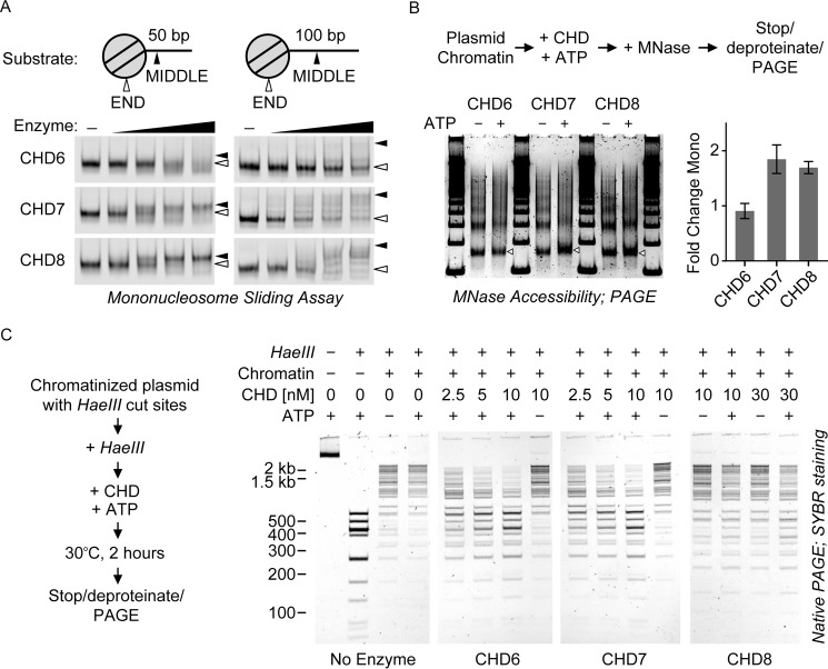 """Chromatin remodeling activities of group III CHD enzyme s . A , mononucleosome sliding assay. 20 n m of dye-labeled, end-positioned nucleosome substrates (illustrated at the top ) were incubated with 0, 0.25, 1, 4, or 16 n m CHD enzymes in the presence of ATP. After competing the enzymes off with excess plasmid DNA, the reaction products were visualized by native PAGE. The white arrowheads correspond to end-positioned species; the black arrowheads correspond to middle-positioned species. B , MNase accessibility assay. Top panel , reaction schematic; CHD enzymes were tested for their ability to alter the MNase accessibility of a chromatin array in an ATP-dependent manner. Bottom left panel , SYBR-stained native PAGE of MNase-freed product DNA species. The mononucleosome band is denoted by white arrowheads. Bottom right panel , the intensity of the mononucleosome band in each reaction was quantified as a fraction of the whole lane signal. Then, for each enzyme, the ratio of −ATP to + ATP mono band intensity was calculated. Values are mean ± S.D. ( n = 3 or 5; see """"Experimental Procedures""""). C , HaeIII accessibility assay. Left panel , reaction schematic. CHD enzymes were tested for their ability to regulate HaeIII endonuclease accessibility of a chromatin array in an ATP-dependent manner. Right panel , SYBR-stained native PAGE of HaeIII-digested plasmid DNA species."""