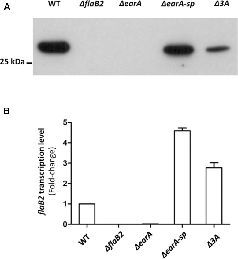 The translation and transcription of flaB2 was restored in the Δ earA-sp and Δ 3A mutants. (A) Western blot analysis showed that FlaB2 was expressed in both Δ earA-sp and Δ 3A mutants, as well as in the wild-type cells but not in the Δ earA mutant or in a mutant deleted for flaB2 . (B) The transcription of flaB2 was restored in Δ earA-sp and Δ 3A strains, as detected by qRT-PCR experiments. While transcripts for flaB2 were barely detectable in the Δ earA mutant, flaB2 transcription in the Δ earA-sp and Δ 3A strains exceeded that of wild-type cells. Error bar shows standard derivation from nine data sets from three biological repeats, each of which were performed with triplicates.