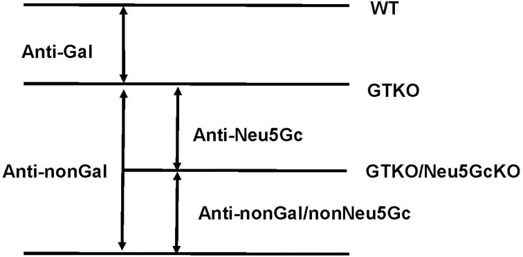 Definitions of anti-pig IgM and IgG antibodies. Anti-pig antibodies (both IgM and IgG) such as anti-Gal, anti-Neu5Gc, anti-nonGal, and anti-nonGal/nonNeu5Gc were defined according to binding to various pig cells.