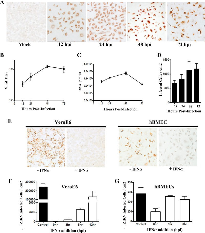 Zika virus infection of primary hBMECs. (A) Primary hBMECs were infected with ZIKV (PRVABC59) at an MOI of 10, and 12 to 72 hpi ZIKV antigen-positive cells were detected by anti-DENV4 HMAF. (B to D) Titers of ZIKV-infected hBMEC supernatants were determined in an FFU assay (B) and analyzed for cellular ZIKV RNA levels by qRT-PCR (C) and for infected cells (D). (E to G) hBMECs and Vero E6 cells were pretreated with IFN-α (1,000 U/ml) for 3 h prior to ZIKV infection (MOI, 10) (E), or IFN-α was added at the indicated time postinfection and infected Vero E6 (F) or hBMECs (G) were immunostained and quantitated 24 later.