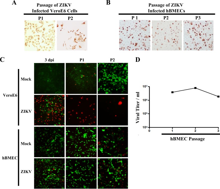 ZIKV-infected hBMECs are viable and productive following cellular passage. (A and B) ZIKV-infected Vero E6 cells or hBMECs (MOI, 10) were trypsinized and passaged (1:3) 3 dpi and every 3 days thereafter. ZIKV-infected passaged hBMECs were detected by immunostaining. (C) Cells were infected and passaged as for panels A and B, and cell viability was assessed via calcein-AM/PI staining and fluorescent image overlay. (D) ZIKV titers in supernatants of hBMECs consecutively passaged 1 to 3 times (every 3 days).