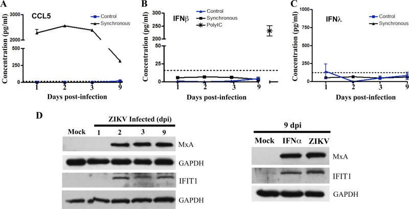 Analysis of cellular protein expression in ZIKV-infected hBMECs. (A to C) hBMECs were mock infected or infected with ZIKV, and 1 to 9 dpi supernatants were analyzed in an ELISA (R D Systems) for CCL/RANTES (A), IFN-β (B), and IFN-λ (C) levels relative to antigen standards. As an hBMEC IFN-β response control, we transfected hBMECs with poly(I/C) (1 µg/ml) and <t>Fugene6</t> at 3:1 and evaluated secreted IFN-β levels in supernatants via ELISA (36 h posttransfection) (D) Western blot analysis of MXA and IFIT1 genes, and GAPDH controls, in lysates from mock-infected or ZIKV-infected hBMECs (1 to 9 dpi). IFIT and MxA protein levels in ZIKV-infected hBMECs 9 dpi versus results 6 h post-IFN-α treatment (1,000 U/ml).