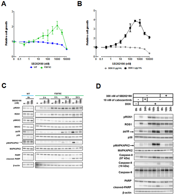 The rescue effect of p38 inhibitor (SB202190) on F2075C-mutated cells obtained by ENU mutagenesis screening or reconstructed F2075C-mutated cells. ( A , B ) Effect of SB202190 on wild-type CD74-ROS1, ENU-screened F2075C-mutated cells ( A ), or reconstructed F2075C cells with or without 1 μg/mL DOX ( B ). Each cell line was treated with the indicated dose ranges of inhibitors for 72 h, then cell viability was measured by the CellTiter-Glo assay. Each value is shown as relative cell growth by normalizing with the values of untreated wells. ( C , D ) Immunoblotting of SB202190-treated wild-type CD74-ROS1 cells or F2075C-mutated cell ( C ), or SB202190- or cabozantinib-treated reconstructed F2075C-mutated cells with or without 1 μg/mL DOX (the cells shown DOX (+) were pretreated with DOX for 24 h.) ( D ). Cell lysates were immunoblotted to detect the indicated proteins. Uncropped blots are presented in Supplementary Fig. S11 .