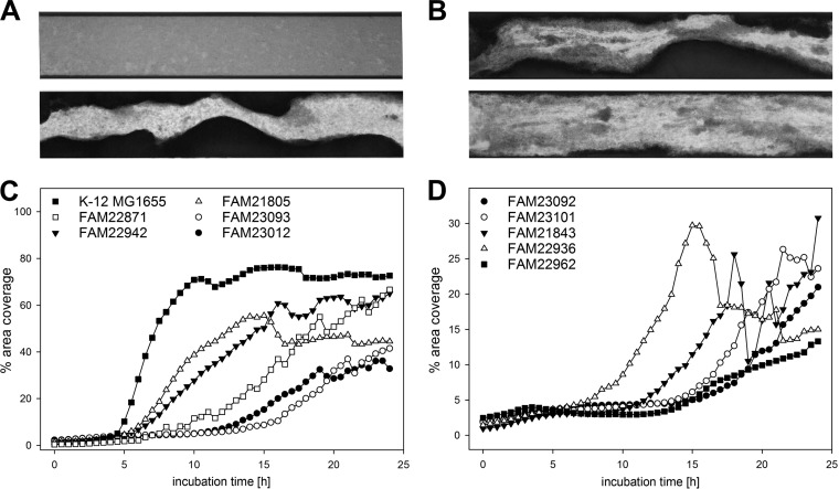<t>Biofilm</t> development under dynamic conditions in flow cells (FC) of the Bioflux system. (A and B) Bottom-up views of FC (5× objective, bright field). The imaged parts of the FC were approximately 1.9 mm long and 350 μm wide (FC cross-section, 350 × 70 μm), and the medium flow was from left to right. (A) FAM19195 (19 h) showed biofilm from the sides and a bacterial lawn but no biofilm formation within the channel (top), and FAM21805 (19 h) produced biofilm from the sides and within the channel (bottom). (B) There was a sudden decrease (sloughing) of strong biofilm within the channel for strain FAM21843 between 18 h (top) and 18.5 h (bottom). (C and D) Average area coverage (% of the flow channel within an image that was covered by biofilm) was evaluated every 30 min for 24 h for all 37 strains. Eleven strains consistently formed biofilm within the FC channel, and their area coverages over time are given here. Values indicate averages for at least biological triplicates.