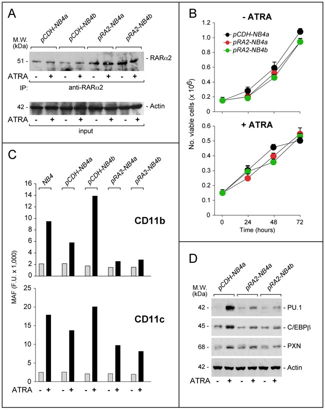 Effects of RARα2 over-expression on the growth and differentiation of NB4 cells NB4 cells were transfected with the pCDH-RA2 plasmid and the corresponding void vector, pCDH . Two distinct RARα2 expressing ( pRA2-NB4a and pRA2-NB4b ) and two ( pCDH-NB4a and pCDH-NB4b ) cell populations were isolated. A . Cells were treated with ATRA (1 μM) for 24 hours. Cell extracts were immuno-precipitated with an anti-RARα2 antibody [Ab25alpha2(A2)] coupled to Protein G sepharose beads. The immuno-precipitates were subjected to Western blot analysis with a different anti-RARα antibody [RP alpha (F)]. Equivalent amounts of protein extracts were used to immuno-precipitate RARα2, as indicated by the levels of actin present in the extracts before addition of the anti-RARα2 antibody (input). B . Cells were treated with vehicle (DMSO) or ATRA (1 μM) for the indicated amount of time. The number of viable cells determined after staining with trypan blue is indicated. Each point is the mean±S.D. of three replicate cultures. C . Cells were grown in the presence of vehicle (DMSO) or ATRA (1 μM) for 72 hours and subjected to FACS analysis for the determination of CD11b and CD11c. The column graphs indicate the MAF (mean-associated-fluorescence) values determined. D . Cells were grown as in (C) and treated with vehicle (DMSO) or ATRA (1 μM) for 48 hours. Cell extracts were subjected to Western blot analysis for the indicated proteins. Actin is used as a loading control. The calculated molecular weight (M.W.) of each protein is indicated on the left.