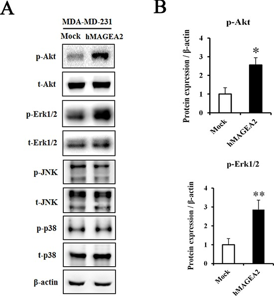 hMAGEA2 activates p-Akt and p-Erk1/2 in TNBC cell line ( A ) Protein expression of phospho-Akt, total-Akt, phospho-Erk1/2, total-Erk1/2, phospho-JNK, total-JNK, phospho-p38, and total-p38, measured in MDA-MB-231 cell line overexpressing hMAGEA2 and those not overexpressing hMAGEA2. β-actin was used as loading control. ( B ) Relative protein expression level of p-Akt and p-Erk1/2 in MDA-MB-231 cell line overexpressing hMAGEA2, and those not overexpressing hMAGEA2. (Means ± SD, * p