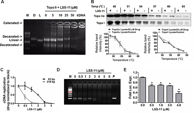 """LSS-11 inhibits DNA polymerase, topoisomerase II and minimal TA promoter-drove luciferase reporter expression ( A ) The impact of indicated concentrations of LSS-11 on decatenation of kDNA by Topo II. """"D"""" refers to decatenated DNA, """"L"""" means linear DNA, kDNA without any treatment was included as a blank control. ( B ) The impact of LSS-11 on the thermal stabilities of Topo IIα and Topo I determined by CETSA as described in Materials and methods. Quantification of band intensity was performed by ImageJ and shown as bar graph in the lower panel. ( C ) The impact of LSS-11 on the amplification efficiency of Taq DNA polymerase in real time fluorescent quantitative PCR. 63 bp and 216 bp represent the sizes of amplicons. ( D ) The impact of LSS-11 on the efficiency of isothermal helicase-dependent amplifications. Lane M, marker; lane P, positive control. ( E ) Relative luciferase activities of SW480 cells transfected with pGL-6 TA luciferase reporter, the luciferase activity (arbitrary unit) was normalized by the luciferase activity of cells treated with vehicle only. *p"""