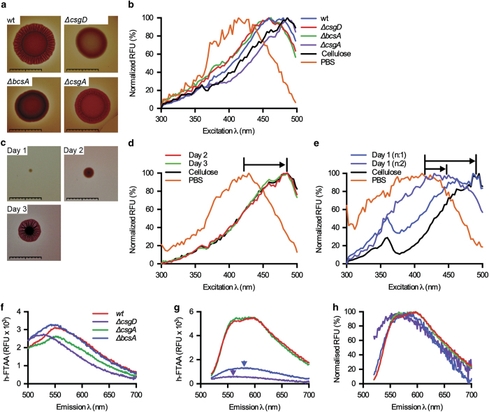 LCO-based morphotyping of Salmonella biofilms from agar plates. ( a ) Morphotypes of strain 3934 wt, Δ csgD , Δ bcsA and Δ csgA based on the drop assay on Congo red plates. ( b ) Normalised spectra of h-FTAA mixed with re-suspended biofilm colonies harvested from indicated strains grown for 48 h on LB agar w/o salt, with emission read at 545 nm. h-FTAA mixed with cellulose and PBS were assayed in parallel for reference. ( c ) Morphotype of a 3934 wt biofilm colony originating from an individual bacterium on Congo red plates monitored for three consecutive days. ( d and e ) Spectra of h-FTAA mixed with harvested 3934 wt biofilm colonies at ( d ) days 2 and 3, and ( e ) day 1, including cellulose and PBS for reference. Arrows indicate the shift in λ max for h-FTAA in the presence of various amounts of cellulose. n : 1 of 5 in b and d , n : 2 of 5 in e . Scale bars=1 cm. ( f ) Emission spectra of h-FTAA-supplemented cultures of strain 3934 wt, Δ bcsA , Δ csgA and Δ csgD after 24 h incubation, using excitation at 405 nm for curli detection. ( g ) Same experimental setup as in f using excitation at 500 nm for cellulose detection. Arrows indicate λ max of emission in Δ csgA and Δ csgD mutant strains. ( h ) Normalised fluorescence spectra for cellulose detection from g . Data represent n : 1 of 3. RFU, relative fluorescence units.