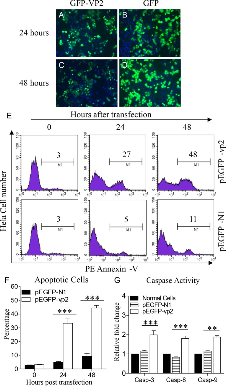 Infectious bursal disease virus (IBDV) VP2 induces apoptosis in Hela cells. (A–D) Expression of recombinant GFP-VP2 in Hela cells. Hela cells were transfected with pEGFP-N1-vp2 (A,C) or pEGFP-N1 (B,D) as controls. Twenty-four or 48 h after transfection, cells were stained with DAPI and examined by fluorescence microscope at indicated time points. (E) Transfected cells were collected and stained with PE Annexin-V. GFP-positive cells were gated for further analysis of apoptosis by flow cytometry (total cells were analyzed at 0 h). (F) The percentages of Annexin-V-PE positive cells. (G) The enzymatic activities of caspase-3, -8, and -9 in cells were examined 48 h after transfection with pEGFP-vp2. Data are representative of three independent experiments. ∗∗∗ p