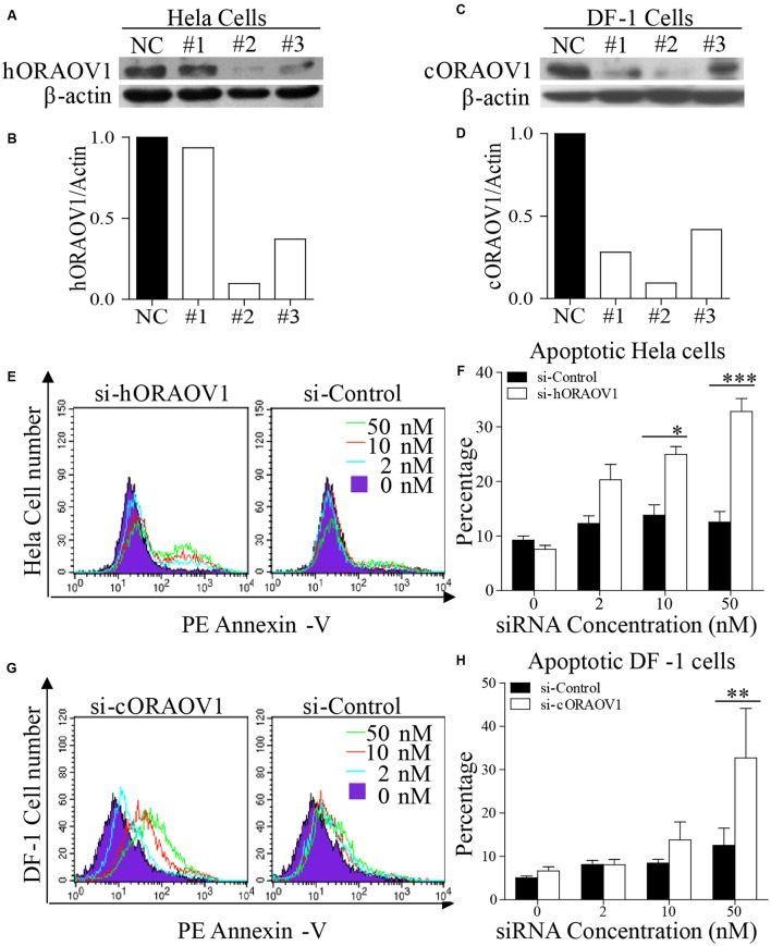 Knockdown of ORAOV1 induces apoptosis in a dose-dependent manner. (A–D) Effects of different RNAi constructs on endogenous ORAOV1 expression. (A) Hela cells were transfected with siRNA (RNAi#1–3) or controls targeting human ORAOV1. Forty-eight hours after the second transfection, cell lysates were prepared and examined with Western Blot using anti-ORAOV1 antibody. β-actin expression was used as an internal control. (B) The relative levels of human ORAOV1 in ORAOV1 RNAi-treated Hela cells. The density of protein bands in panel A was quantitated by densitometry, and normalized with the density of the β-actin bands. (C) As in (A) , DF-1 cells were transfected with siRNA (RNAi#1-3) or controls targeting chicken ORAOV1. (D) The relative levels of chicken ORAOV1 expression in the RNAi-treated DF-1 cells. (E–H) Knockdown of ORAOV1 by RNAi induces apoptosis in a dose-dependent manner. RNAi construct#2 in (A) or (C) were used to knockdown ORAOV1 in Hela or DF-1 cells. Forty-eight hours after the second transfection, Hela or DF-1 cells were harvested and stained with PE annexin-V, followed by flow cytometry analysis (E,G) . Percentages of the annexin-V positive cells in the indicated groups were calculated, and the significance of the difference between ORAOV1-RNAi and control-RNAi treatments was performed by ANOVA (F,H) . Data are representative of three independent experiments. ∗ p