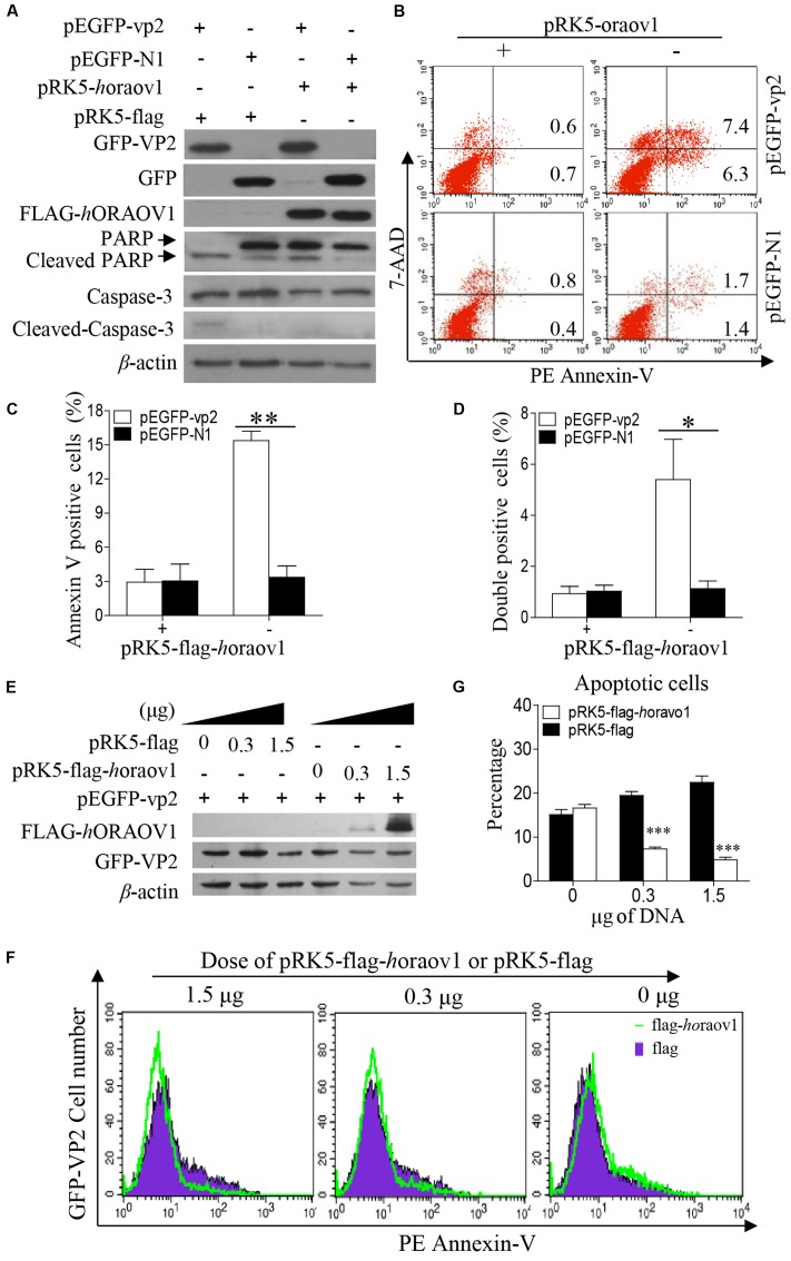 Overexpression of ORAOV1 suppressed VP2-induced apoptosis. (A) Hela cells in 6-well plate were transfected with 0.3 μg of pEGFP-N1-VP2 or pEGFP-N1 as controls, together with 1.5 μg of pRK5-flag-horaov1 or the same amount of pRK5-flag. (B) Cells treated as in (A) were stained with PE annexin-V, and GFP-positive cells were examined with flow cytometry for apoptosis. (C,D) The percentage of apoptotic cells expressing GFP-VP2 or GFP in the presence of overexpressed ORAOV1. Data are representative of three independent experiments. (E) Hela cells were transfected with 300 ng of pEGFP-vp2 together with indicated doses of pRK5-flag-horaov1 or pRK5-flag. The total amount of plasmid DNA were equalized to 2 μg using an irrelevant vector pcDNA-4.0. (F,G) Cells treated as in (E) were stained with PE annexin-V, and GFP-positive cells were examined with flow cytometry for apoptosis. The percentages of VP2 induced apoptotic cells were reduced by the ORAOV1 expression in a dose-dependent manner. Data are representative of three independent experiments. ∗ p