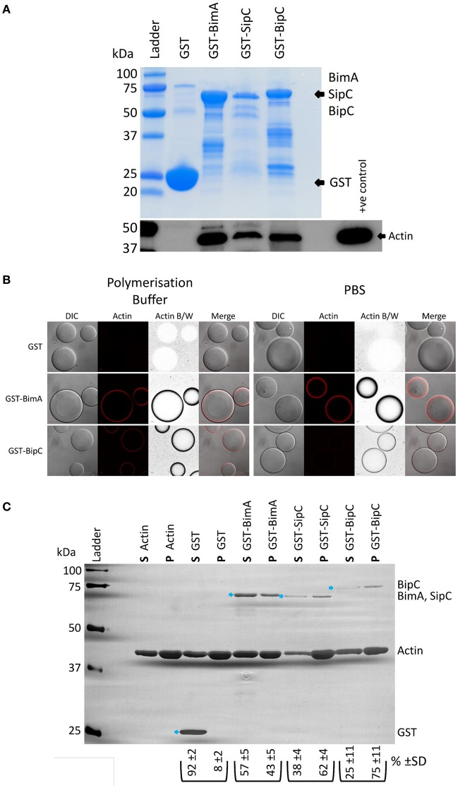 """B. pseudomallei BipC interacts with cellular actin. (A) GST-BipC interacts with actin in murine splenic lysates. GST, GST-BimA 48−384 , GST-SipC, and GST-BipC bound to GSH-linked Sepharose beads were incubated with murine splenic lysates in polymerization buffer. The Sepharose beads were washed and the bound proteins were denatured in Laemmli buffer. The Coomassie stained gel shows the relative quantities of input proteins used in the pull-down assay. Equal volumes (5 μl) of each pulldown sample (representing a half of the total samples) were analyzed by SDS-PAGE and Western blot. The α-actin Western blot indicates actin binding to the fusion proteins. (B) GST-BipC directly interacts with actin in the absence of other cellular proteins. GSH-Sepharose beads coated with either GST, GST-BimA 48−384 ,or GST-BipC were mixed with rhodamine-labeled actin suspended either in polymerization buffer or PBS and immediately imaged using a confocal microscope. The formation of a red """"halo"""" around the bead indicates binding of actin to the bead surface. These are also shown as grayscale images for clarity. DIC/phase contrast images of the beads are also shown. Scale bar = 20 μm. ( C ) GST-BipC preferentially binds F-actin. Actin was allowed to polymerize at room temperature for 2 h before being mixed with GST, GST-BimA 48−384 , GST-SipC, or GST-BipC. The mixtures were submitted to ultra-centrifugation to separate the monomeric actin (supernatant) and the filamentous actin (pellet). Proteins in the supernatant ( S ) and pellet ( P ) fractions were separated by SDS-PAGE and visualized by silver staining. The GST-fusion proteins are indicated by the blue arrows. The average percentage and standard deviation over the three replicates of each GST-fusion protein distributed in the supernatant or pellet (as determined by densitometry) is shown below the corresponding lane in the image (shown as % )."""