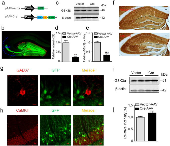 Expression of Cre recombinase selectively deletes GSK-3β in DG excitatory neurons of GSK-3β loxp mice. ( a ) Schematic representation of pAAV-CaMKII-Cre-2A-eGFP and the empty pAAV-CaMKII-eGFP vector. ( b ) A representative image showing efficient virus infection in DG and the mossy fibers. ( c,d ) Injection of Cre recombinase into hippocampal DG of GSK-3β loxp mice for 1-m efficiently downregulated GSK-3β protein level measured by Western blotting (n = 3 each group). ( e ) The reduced GSK-3β activity in DG extracts after Cre recombinase injection (n = 3 each group). ( f ) Deletion of GSK-3β in DG neurons by Cre recombinase injection measured by immunohistochemistry, scale bars, 100 μm. ( g,h ) Specific deletion of GSK-3β in DG excitatory neurons measured by co-immunofluorescence of GFP with CaMKII but not with GAD67 antibody, scale bars, 10 μm. ( i , j ) Deletion of GSK-3β did not significantly affect GSK-3α in DG subset (n = 3 each group). Data were presented as mean ± s.e.m. unpaired t test, ** P