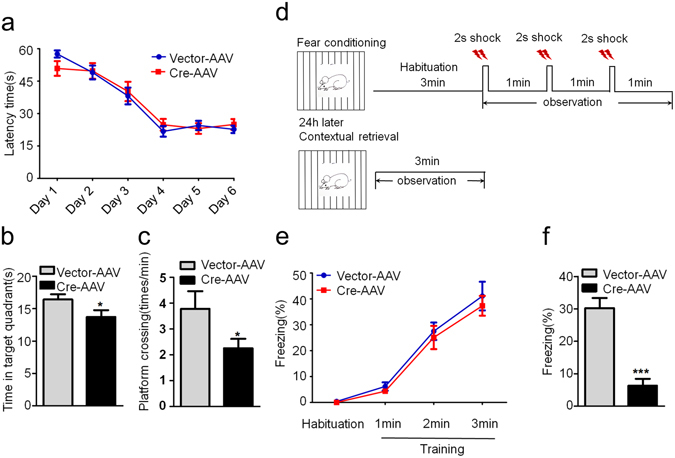 GSK-3β deletion in DG induces spatial and fear memory deficits. ( a ) GSK-3β deletion in DG excitatory neurons does not change the latency to find the hidden platform during 6 days Morris water maze (MWM) training. ( b,c ) GSK-3β deletion induces memory deficits shown by the decreased time in previous target quadrant and the crossings in the platform region measured at day 8 by removed the platform (Vector, n = 10; Cre, n = 8). ( d ) The schematic representation of contextual fear memory test. ( e ) No change of freezing time was detected in GSK-3β deletion during the contextual fear training test. ( f ) The percentage time of freezing was remarkably decreased during the contextual memory test carried out in the next day (Vector, n = 10; Cre, n = 8). Data were presented as mean ± s.e.m. Two–way repeated-measures ANOVA with Huynh-Feldt-Lecoutre correction for panels (a) and (e); unpaired t test for panels (b, c, and f). * P