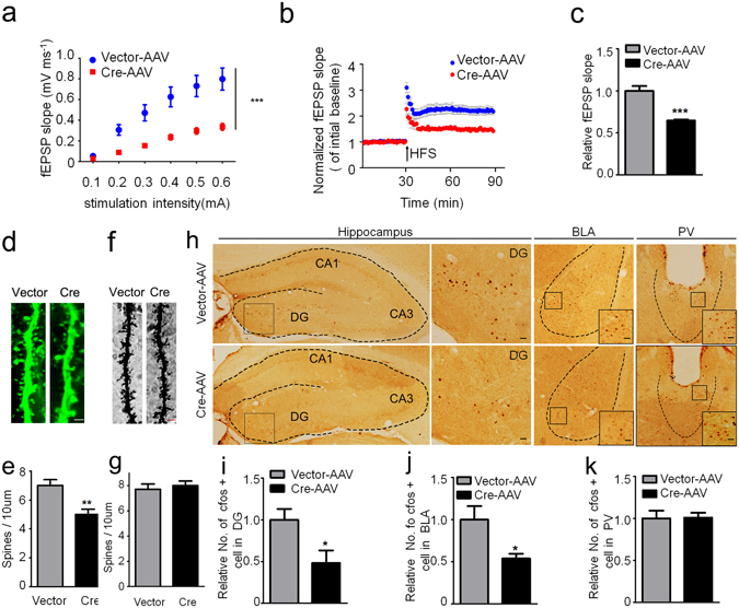 GSK-3β deletion inhibits activity-dependent neural activation. ( a ) GSK-3β deletion significantly suppressed basal synaptic transmission shown by the reduced input/output (I/O) curve. ( b,c ) GSK-3β deletion induced LTP impairment shown by a decreased slop of the evoked fEPSP, and the decrease was still significant at 60 min after high frequency stimulation (HFS). n = 8–10 hippocampal slices from 6 mice in each group. ( d,e ) The representative micrographs of spine morphology and the decreased spine density in GFP-positive neurons (6 mice were analyzed in each group). ( f,g ) The representative micrographs of spine morphology and the spine density in prefrontal cortex neurons (6 mice were analyzed in each group). ( h–k ) The representative immunohistochemical images of c-fos, and the densitometric analyses in DG (dentate gyrus), BLA (basal lateral amygdala) and PV (paraventricular thalamic nucleus) subsets (Scale bars, 20 μm; n = 5–6 each group). Data were presented as mean ± s.e.m. Two–way repeated-measures ANOVA with Huynh-Feldt-Lecoutre correction for panels ( a ), unpaired t test for panels ( c , e , i – k ). * P