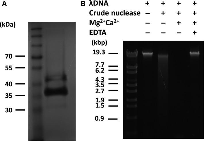 SDS – PAGE nuclease assay and biochemical analysis of Prevotella intermedia crude nuclease. (A) Pr. intermedia crude nuclease was detected in SDS – PAGE gels containing 0.2 mg ml −1 salmon sperm DNA . After electrophoresis, proteins were renatured. This was followed by incubation in activation buffer containing 1 m m MgCl 2 and 1 m m CaCl 2 for 3 h at 37°C. To visualize DNA degradation, gels were stained with ethidium bromide and examined under ultraviolet light. Two protein bands were observed to possess nuclease activity. (B) λ DNA was incubated with Pr. intermedia crude nuclease with or without 1 m m MgCl 2 and 1 m m CaCl 2 at 37°C for 10 min. Following electrophoresis, DNA was stained with ethidium bromide and visualized under ultraviolet light.