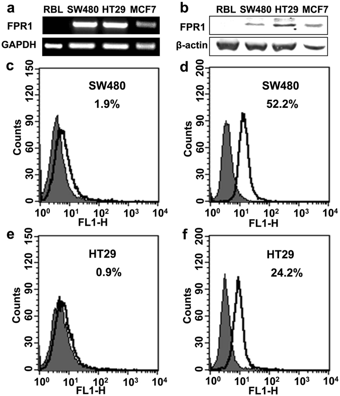 Expression of FPR1 in colorectal cancer cell lines. The mRNA transcripts ( a ) and protein expression ( b ) of FPR1 in SW480 and HT29 were analyzed by agarose gel electrophoresis and western blotting, respectively. The full-length gels and blots were presented in Supplementary Fig. S4a and b . ( c – f ) Flow cytometry was used to confirm the distribution of FPR1 expression in these two cell lines. The cells were treated with or without membrane-penetration solution to detect the total protein expression ( d , f ) and membrane expression ( c , e ).
