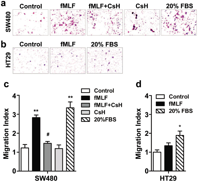 FPR1 activation promoted SW480 cell migration. SW480 ( a ) and HT29 ( b ) were treated with fMLF (1 μM) or 20% FBS (positive control) for 12 h with or without a 15 min pretreatment with cyclosporine H (1 μM). The cell migration was examined using a 48-well Boyden chamber. Representative images of migrated cells (SW480 and TH29) on membrane filters were shown in ( a and b ) and quantified data were shown in ( c and d ), respectively. * p