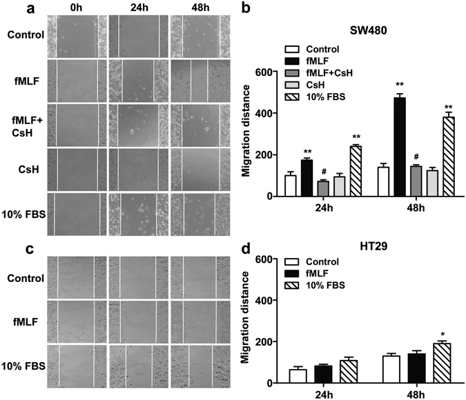 FPR1 activation accelerated the migration of SW480. The motility of SW480 ( a , b ) and HT29 ( c , d ) in wound-healing model was assayed in the presence of fMLF (1 μM) or 10% FBS with or without a 15 min pretreatment with cyclosporine H (1 μM). Then cells were photographed at 24 h and 48 h. * p